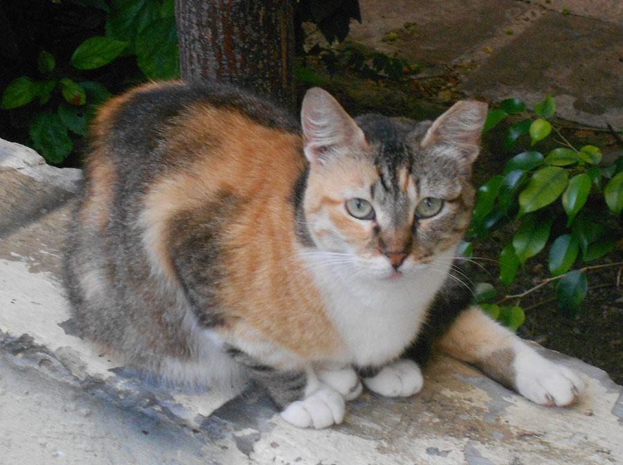 Tortoise Shell Cat With Green Eyes | Foto Bugil Bokep 2017