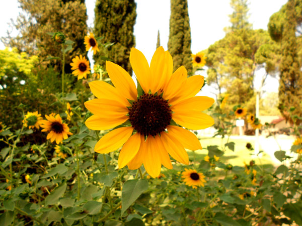 Sunflower - Beautiful
