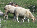 Three sheep ...